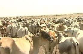 Cattle in Darfur (file photo)