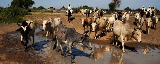 Herders lead cattle to water in Darfur (File photo: Albert González Farran / Unamid)