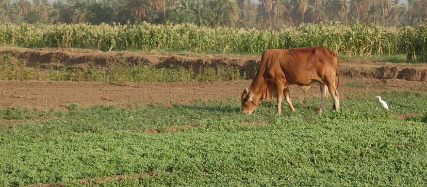 A cow eats crops in the Nile Riverine strip in Sudan (UNEP Photo)