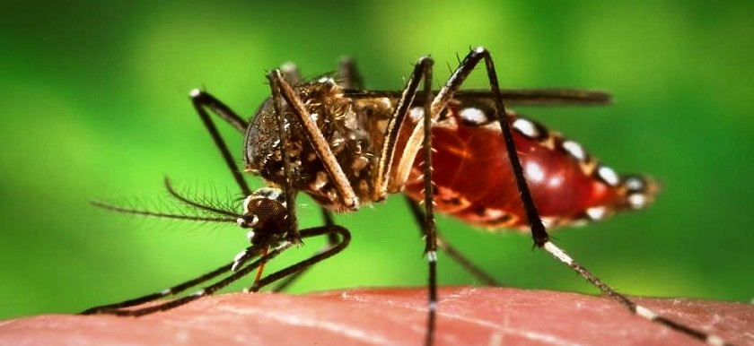 The Aedes aegypti mosquito, the main vector for chikungunya and dengue fevers (File photo)