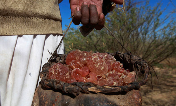 A farmer in West Kordofan carries gum Arabic collected from the acacia Senegal tree (Mohamed Nureldin Abdallah/Reuters)