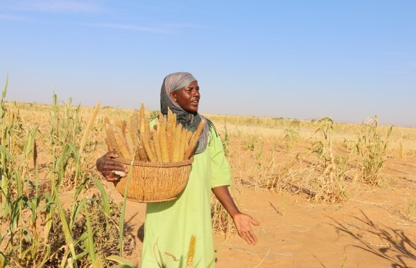 Harvesting Abu Suf ('hairy') millet in North Darfur (Practical Action)