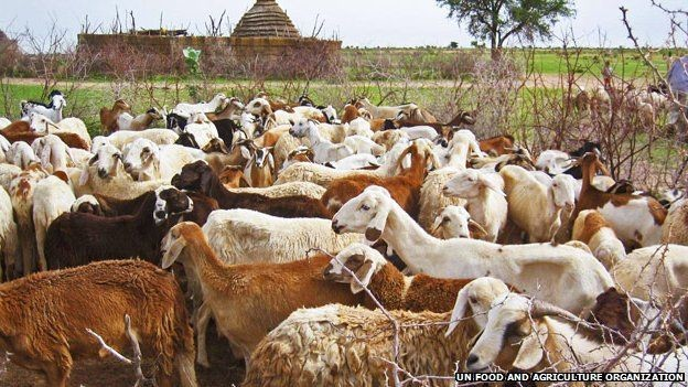 Sheep in the Sudanese uplands (UNFAO)