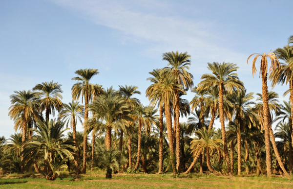 Palm trees on the west bank of the Nile, Dongola (Brian McMorrow)