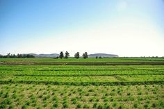 Crops in Delgo in Sudan's Northern State (Pinterest.se)