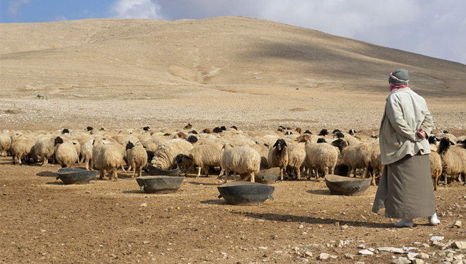 A herder herding sheep (Creative commons)