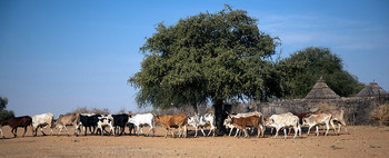 Cattle in Demeika village, North Darfur (Albert González Farran/Unamid)