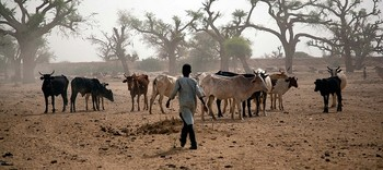 A herder with his cattle in El Sareif Beni Hussein locality in North Darfur (Albert González FarranUnamid)