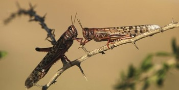 Locusts (File photo)