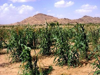 Early maturing millet being grown as part of an FAO seed multiplication project in Darfur (FAO)