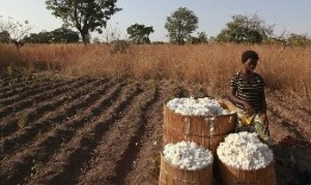 Traditional cotton harvest in El Gezira (sudanvisondaily)