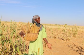 Harvesting 'Abu Suf' millet in North Darfur (Practical Action Org)