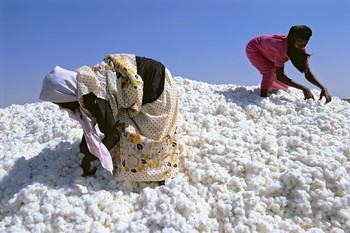 Sudanese cotton (File photo)