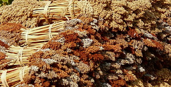 Feterita sorghum grown in Sudan (File photo)