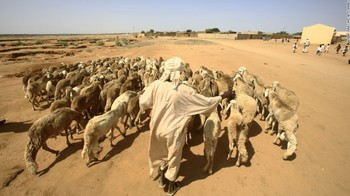 A villager drives his sheep to a pasture in El Gezira in central Sudan (AFP)