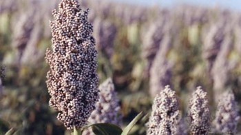 File photo: Sorghum
