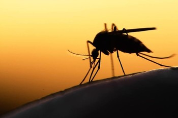 The Anopheles mosquito, carrier of the Malaria parasite (File photo)