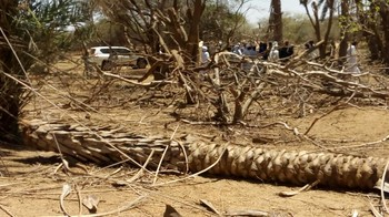Fruit and palm trees cut-down by militants in North Darfur's Kutum in June 2018 (RD)