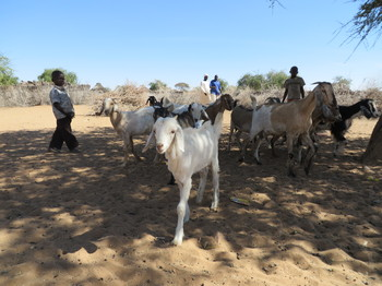 Goats in Darfur (kidsforkids.org.uk)
