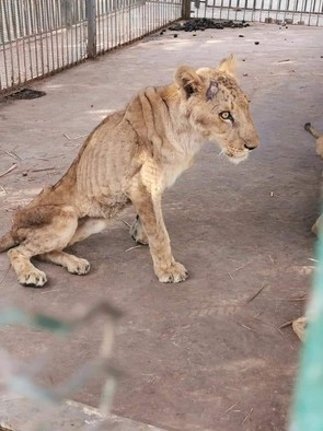 One of the starving lions in El Gurashi zoo in Khartoum (Social media)