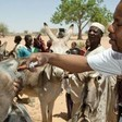 The Food and Agriculture Organization (FAO) officers conduct a medical treatment for animals in North Darfur (Albert González Farran/Unamid)
