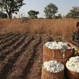 Traditional cotton harvest in El Gezira (File photo: sudanvisondaily)