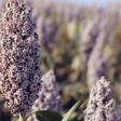 A variety of sorghum (file photo)