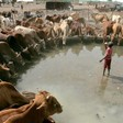 Cows drink from a pond in Kadugli, capital of South Kordofan, on 3 May 2011 (Public Radio International)