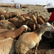 Sheep in Omdurman (SUNA)