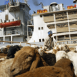 Livestock awaiting export at Port Sudan (File photo)